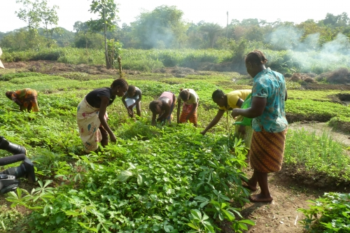Cassava farmers in Pujehun - thanks to the growth center farmers now can process the cassava which allows for longer storage, more various products such as gari and cassava flour as well as provides jobs for women.